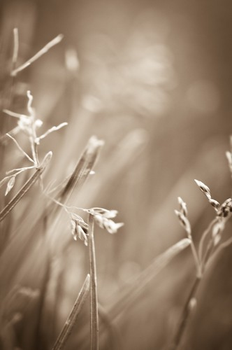 grass sepia dof grain artsy nikon105mm nikkor105mmf28gvrmicro nikond300s