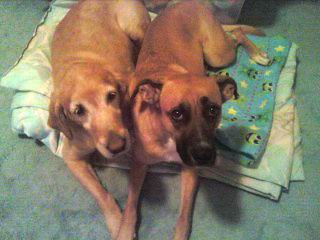 My doggies: 1 Golden Retriever, 1 Boxer German Shepherd Mix | Flickr ...
