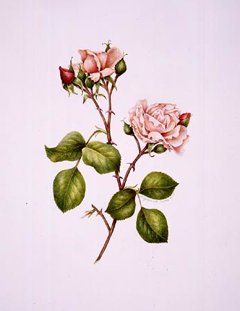 "Virginia Tuttle, Rosa 'Albertine' Watercolor on Lanaquerelle 300 lb hot press, 20"" × 16"". © Copyright Brooklyn Botanic Garden"