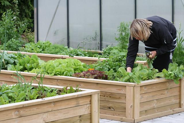 Harvesting radishes / Rediseid korjamas