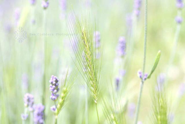Lavender Impressionism - Magical Garden