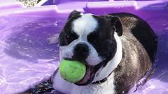 animal, dog, old english bulldog, pet, olde english bulldogge, mammal, toy bulldog, boston terrier, bulldog,