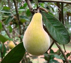 plant(0.0), produce(0.0), food(0.0), bitter orange(0.0), fruit tree(1.0), branch(1.0), pear(1.0), fruit(1.0),