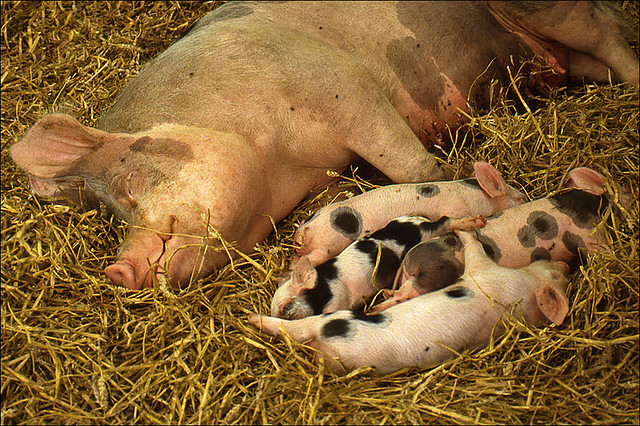 Sleeping Pig Family