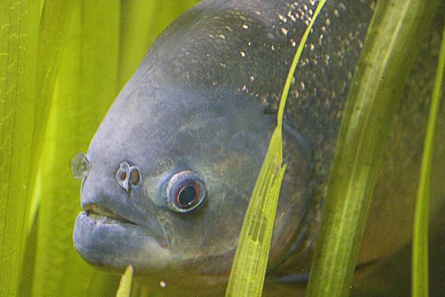 Red bellied piranha   ...