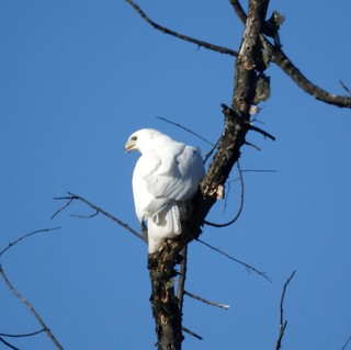 White Hawk (Leucistic Red-tailed Hawk)