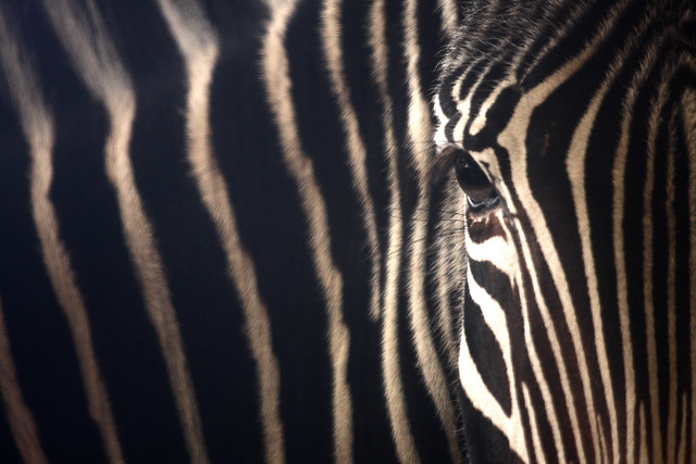 Zebra by RosannePhotos