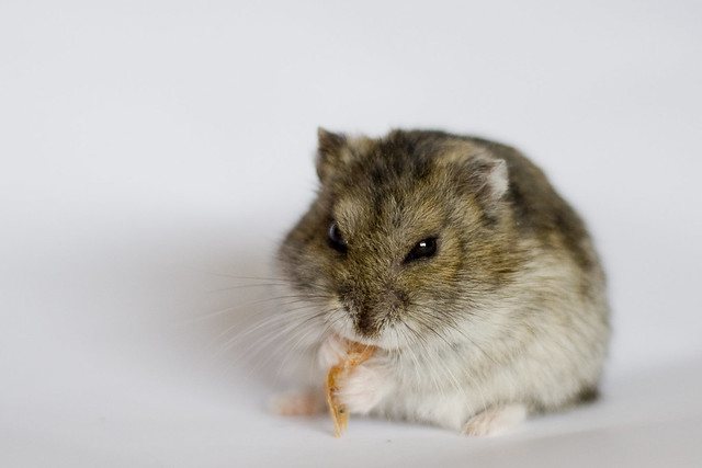 How Much Are Dwarf Hamsters At Petsmart