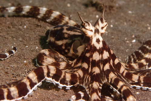 mimic octopus, creature, images, camouflage
