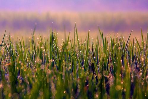 india mist green art nature beauty field digital canon eos rebel is dewdrops kiss rice paddy zoom bokeh iso400 bangalore f100 special karnataka efs xsi x2 250mm durai bengaluru explored 450d hpexif 0002sec 55250 durairaj fotoitlia