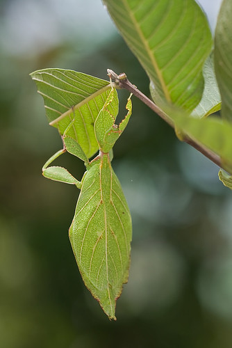 leaf insect on a guava plant........IMG_8349 DT copy