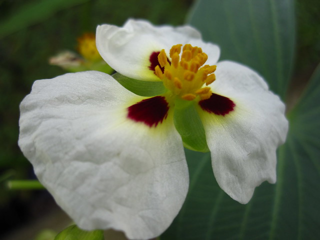 A South American Aztec Arrowhead (Sagittaria montevidensis) rises from the bog in the Aquatic House of the Steinhardt Conservatory.