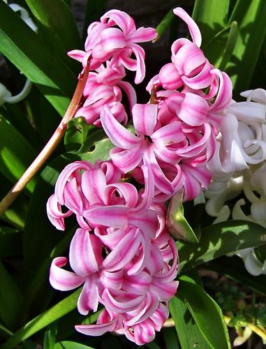 Avril au jardin et ou balcon et terrasse le blog d - Quand faut il couper les fleurs fanees des hortensias ...