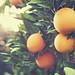 oranges by tamiwilsonphoto
