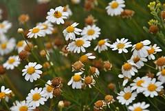 yarrow(0.0), annual plant(1.0), flower(1.0), marguerite daisy(1.0), chamaemelum nobile(1.0), tanacetum parthenium(1.0), daisy(1.0), wildflower(1.0), flora(1.0), oxeye daisy(1.0),