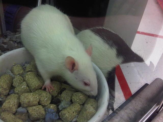 Petco Rats I miss having rats! #p...