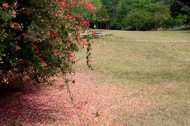 chandigarh gardens bougainvillea