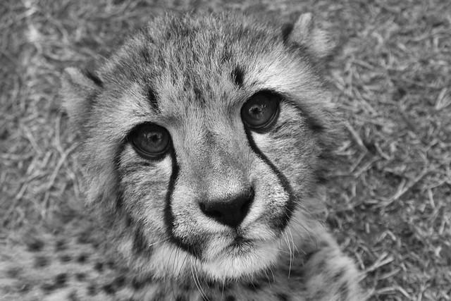 4567533387 d05bcf9346 z jpgBaby Cheetah Clipart Black And White