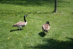 Canada Geese, Sir Casimir Gzowski Park, Toronto_1093