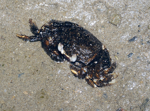 Oil-slicked Tanah Merah: Oiled Horn-eyed ghost crab (Ocypode ceratophthalmus)