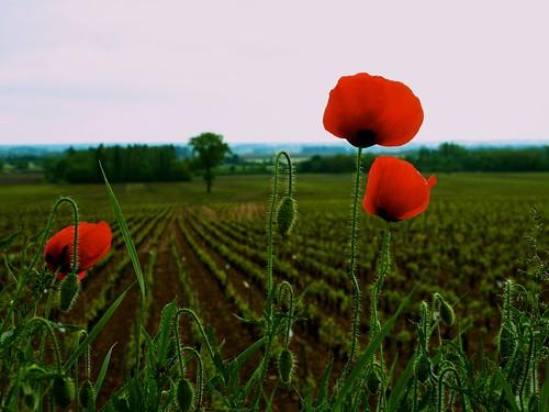 france flower geotagged burgundy poppy geo:lat=4695987 geo:lon=4759269