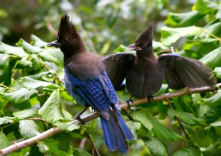 young Steller's Jay begging from it's parent