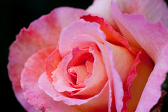Rose, Silva