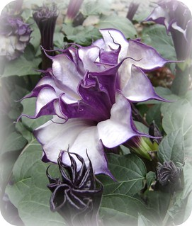 purple & white datura