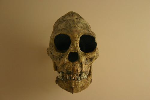 Australopithecus Africanus skull, Child with eagle talon marks in eye sockets