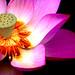 荷(Lotus)2010-14