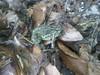 Mulmur Toad