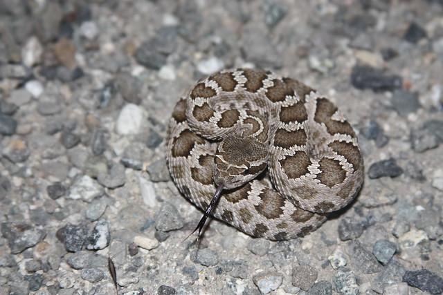 Northern Pacific Rattlesnake - Crotalus oreganus oreganus ...