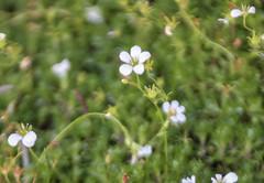 Saxifraga rosacea (Irish Saxifrage)