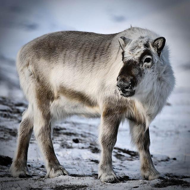 Portrait of a Svalbard reindeer