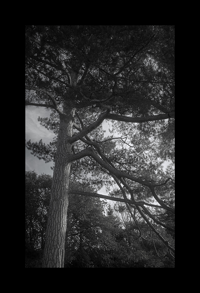 Photography: Common Pine by Nicholas M Vivian