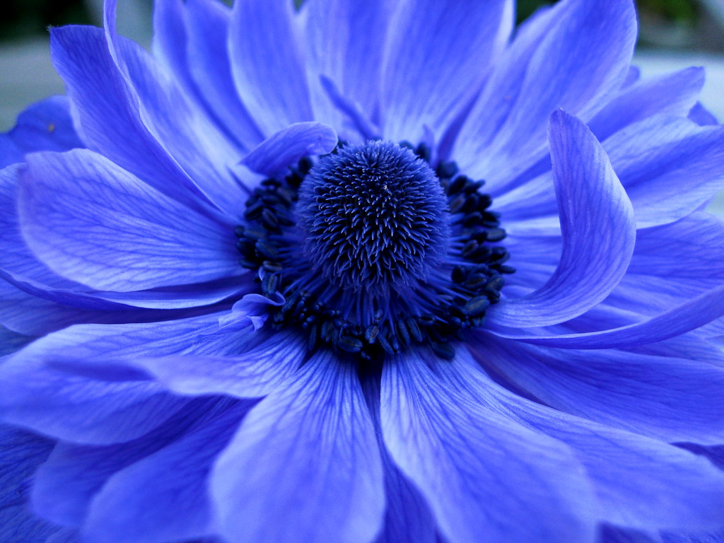 Blue French Anemone by Jytte Jensen