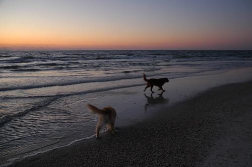 dogs cody shamrock