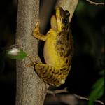 Fat Frog - Concepcion, Paraguay