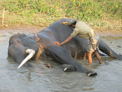 hippopotamus(0.0), safari(0.0), animal(1.0), indian elephant(1.0), elephant(1.0), elephants and mammoths(1.0), fauna(1.0), mahout(1.0), wildlife(1.0),
