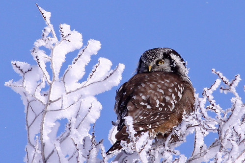 Northern-Hawk Owl