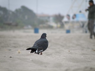 Image of Playa Grande de La Serena near La Serena. chile pet beach animal sand pigeon paloma playa serena
