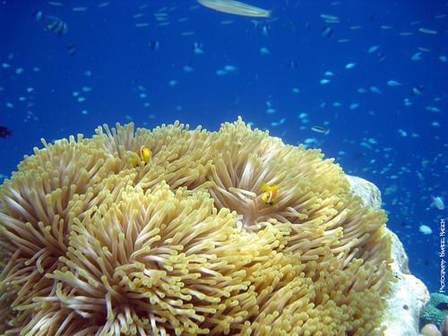 The Maldives Clownfish (Amphiprion Nigripes) [Explore #172]