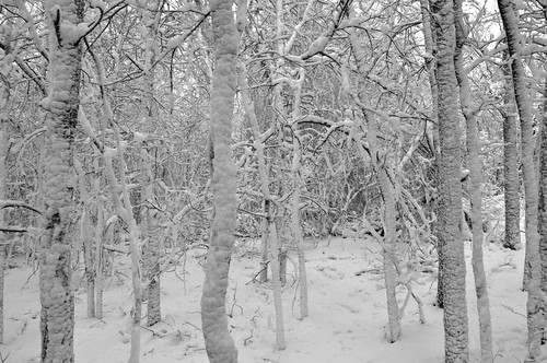 bw white snow tree forest day branch stuck bare covered twig stick whiteout flurry drift blown d5000 pwgen