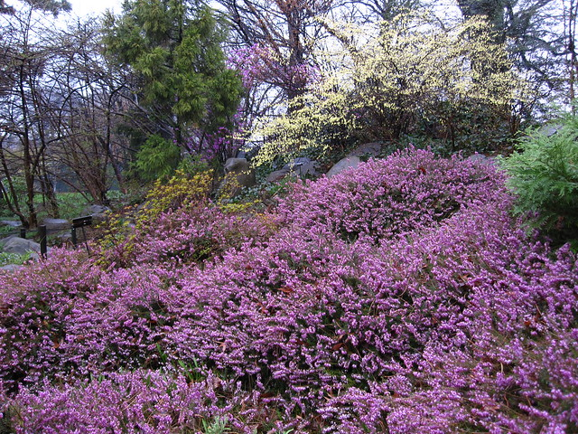 "Spring Heath, Erica carnea 'Springwood Pink"" in the Rock Garden at BBG. Photo by Rebecca Bullene."