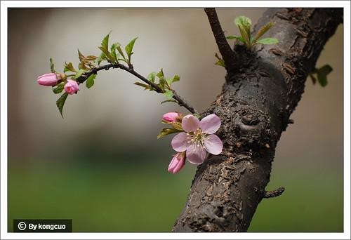 【图】单瓣榆叶梅3