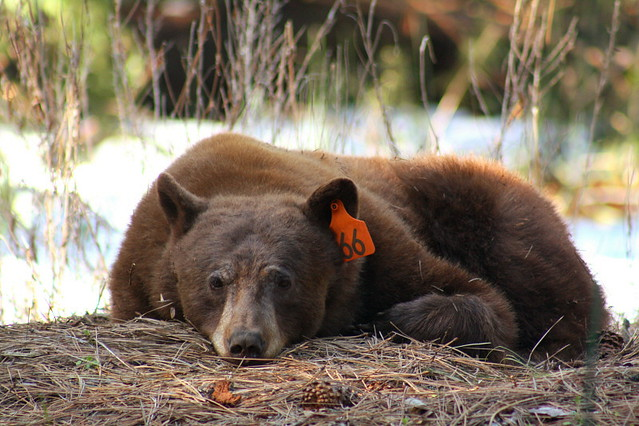 yosemite national park black singles Yosemite national park,  we will be staying in a duplex in the yosemite west area single occupancy  our species is 100% black bears, .