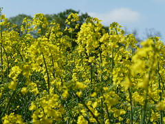 vegetable(0.0), produce(0.0), food(0.0), canola(1.0), agriculture(1.0), flower(1.0), field(1.0), yellow(1.0), mustard plant(1.0), brassica rapa(1.0), mustard(1.0), crop(1.0), meadow(1.0), rapeseed(1.0),
