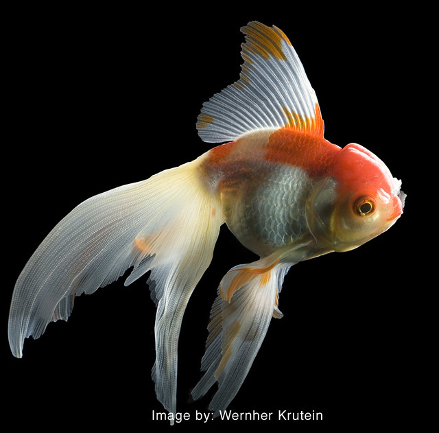 Fantail goldfish - photo#5