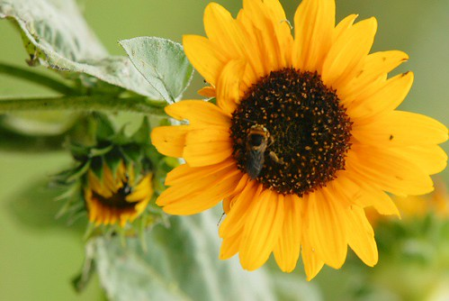 Bees love sunflowers