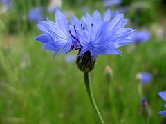Bleuet - Jardin botanique Henri Gaussen